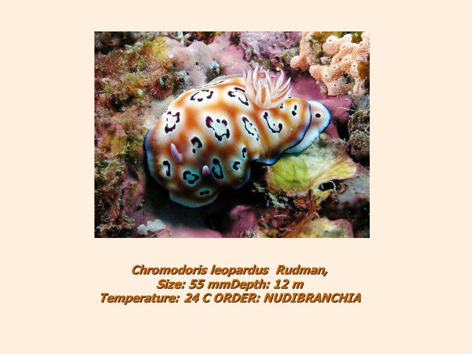 Chromodoris leopardus Rudman, Size: 55 mmDepth: 12 m Temperature: 24 C ORDER: NUDIBRANCHIA