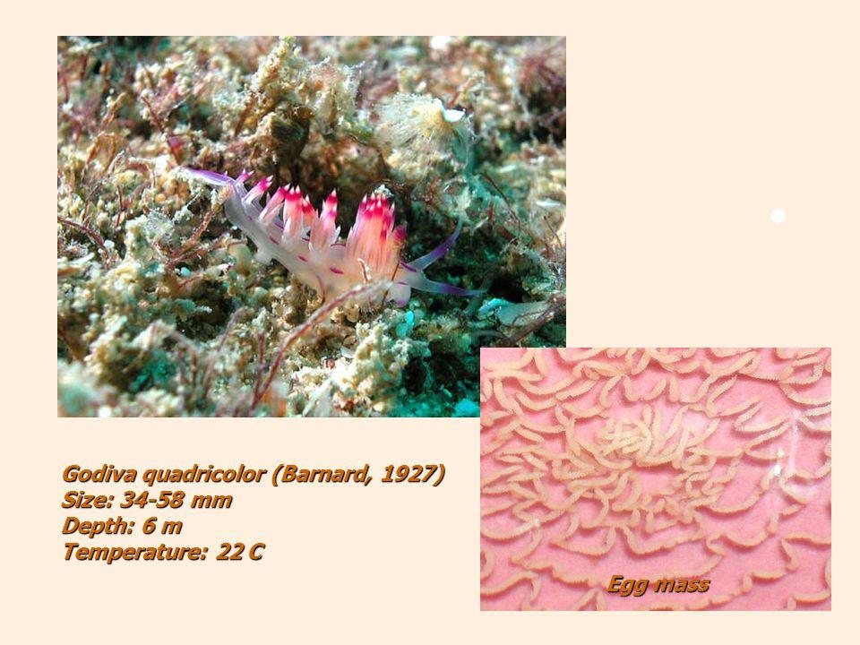 Egg mass Godiva quadricolor (Barnard, 1927) Size: 34-58 mm Depth: 6 m Temperature: 22 C