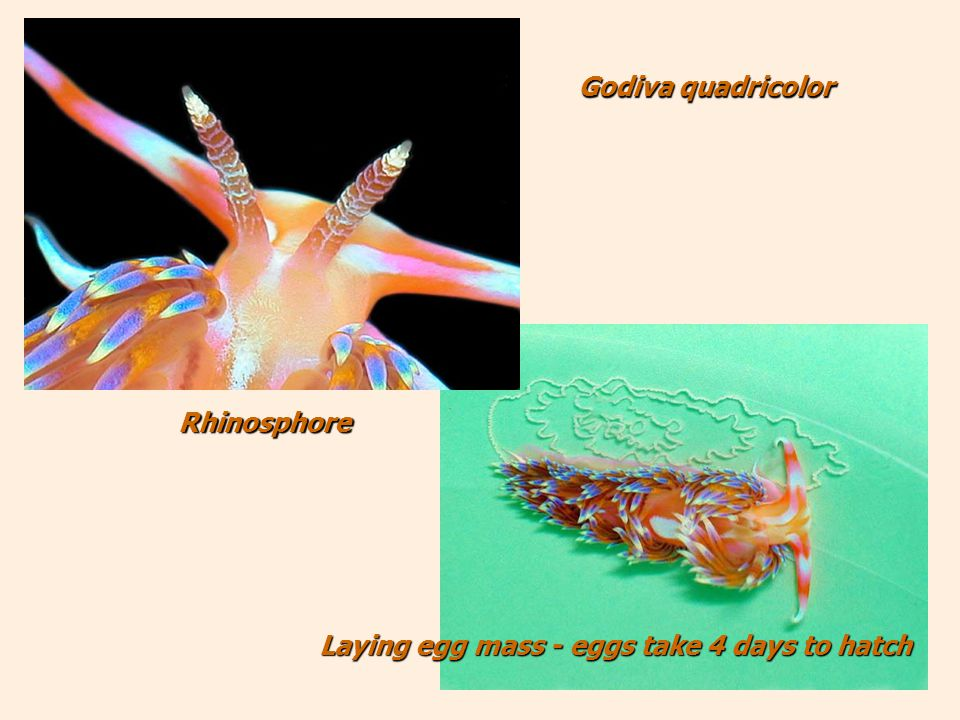 Laying egg mass - eggs take 4 days to hatch Laying egg mass - eggs take 4 days to hatch Rhinosphore Godiva quadricolor