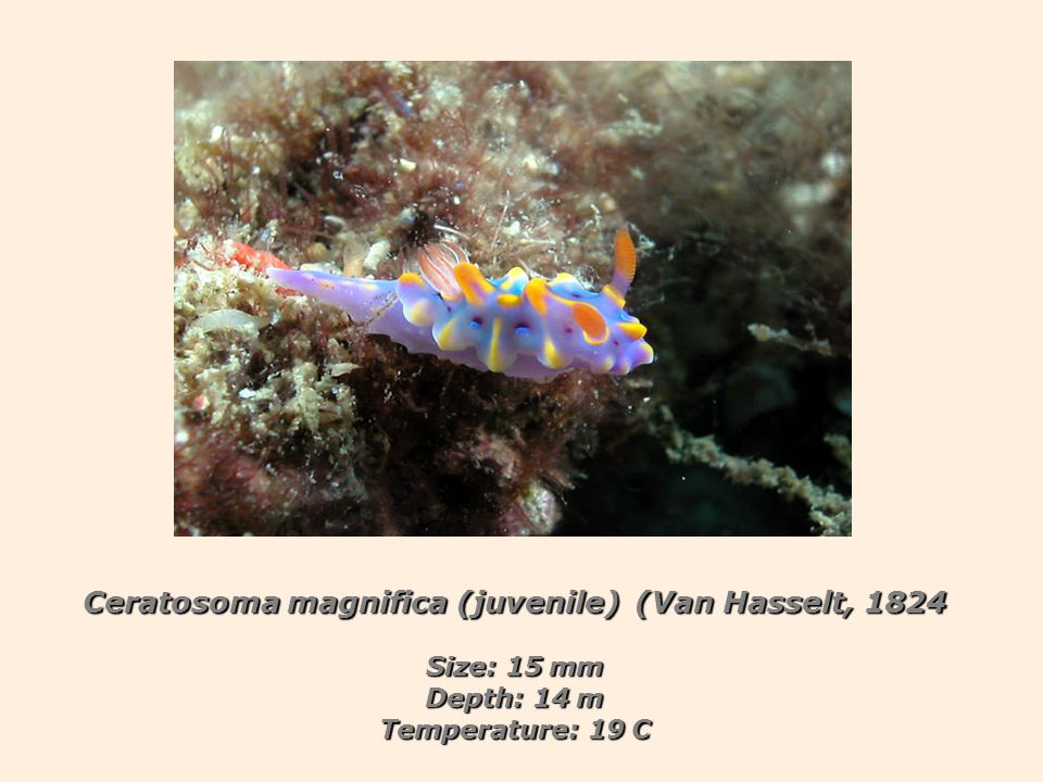 Ceratosoma magnifica (juvenile) (Van Hasselt, 1824 Size: 15 mm Depth: 14 m Temperature: 19 C