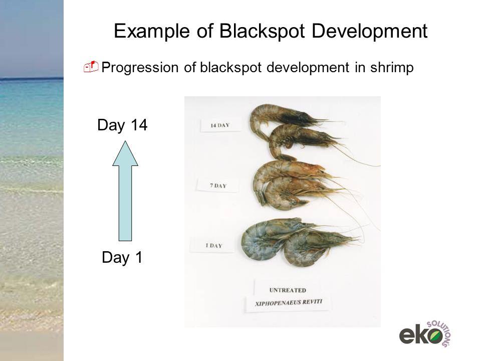 Example of Blackspot Development  Progression of blackspot development in shrimp Day 14 Day 1