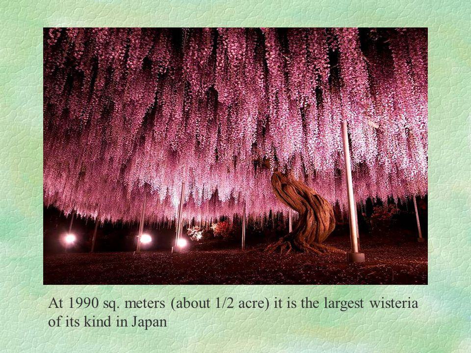 At 1990 sq. meters (about 1/2 acre) it is the largest wisteria of its kind in Japan