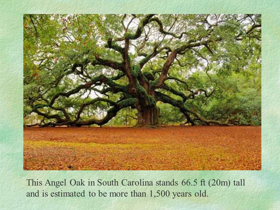 This Angel Oak in South Carolina stands 66.5 ft (20m) tall and is estimated to be more than 1,500 years old.