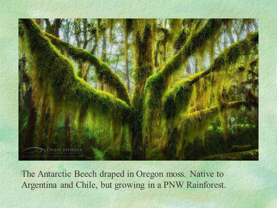 The Antarctic Beech draped in Oregon moss.