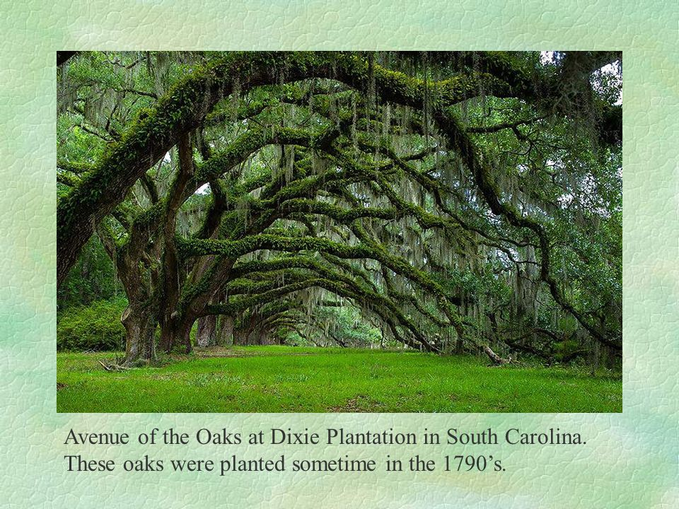 Avenue of the Oaks at Dixie Plantation in South Carolina.