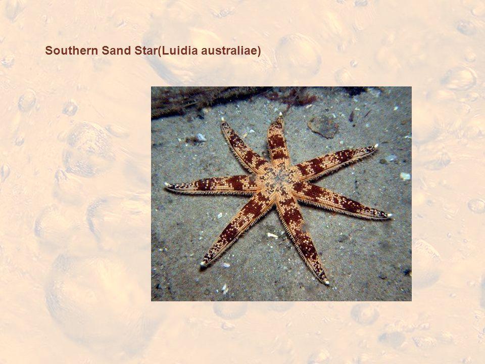 Southern Sand Star(Luidia australiae)
