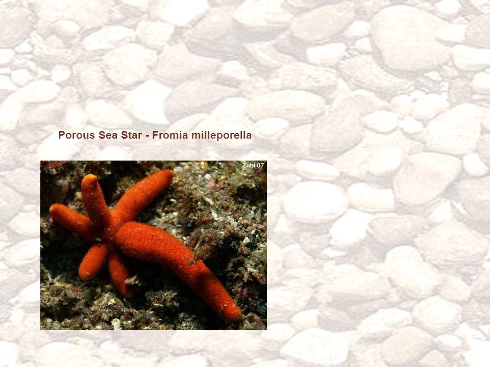 Porous Sea Star - Fromia milleporella
