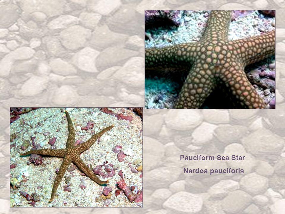 Pauciform Sea Star Nardoa pauciforis