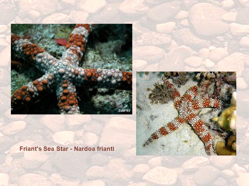 Friant s Sea Star - Nardoa frianti