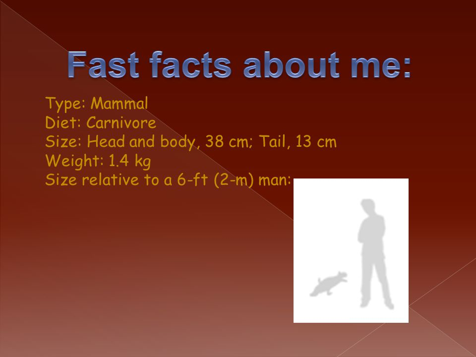Type: Mammal Diet: Carnivore Size: Head and body, 38 cm; Tail, 13 cm Weight: 1.4 kg Size relative to a 6-ft (2-m) man: