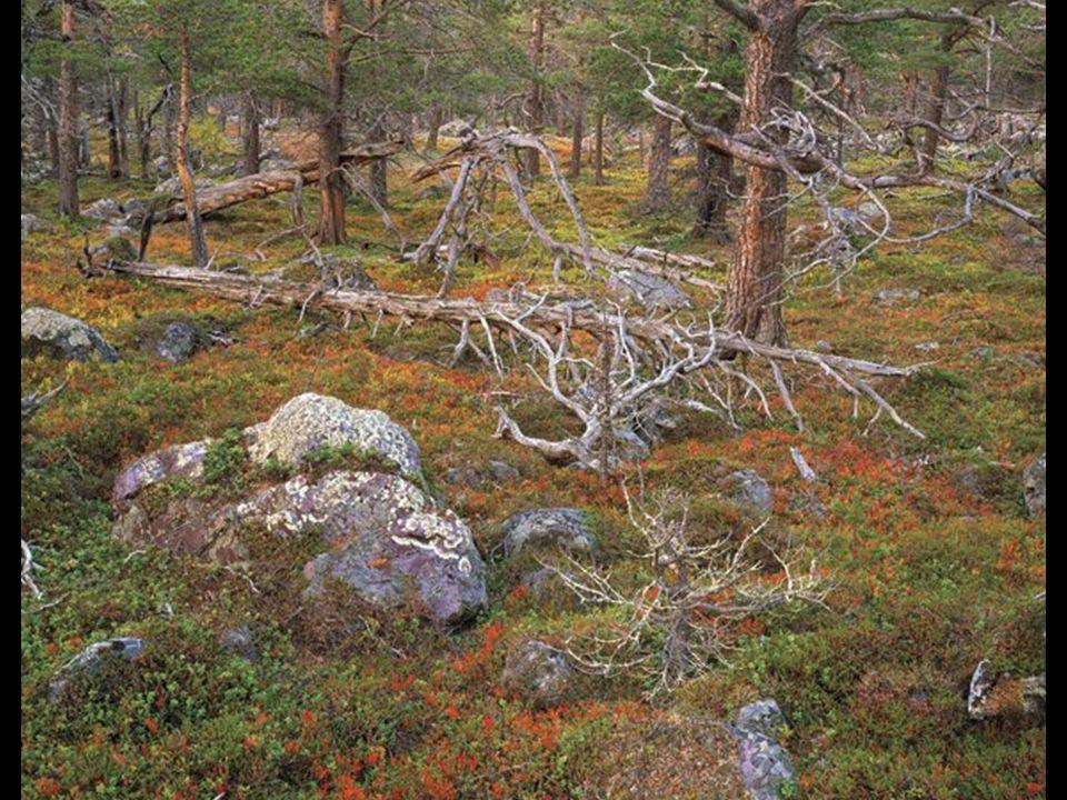 Plant Life Winner Lapland Forest Stora Sjöfallet National Park, Sweden Verena and Georg Popp, Vienna, Austria