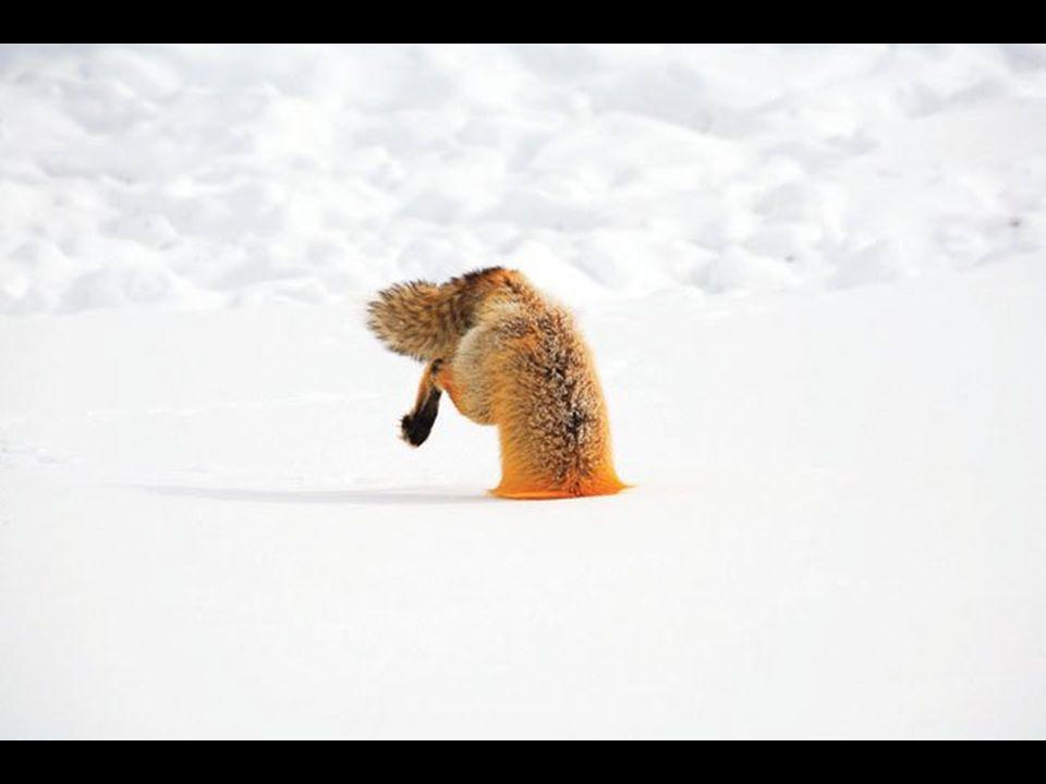Animal Antics Winner Red Fox Vulpes vulpes Yellowstone National Park, Wyoming, USA Steve Hinch, Yellowstone, Wyoming, USA