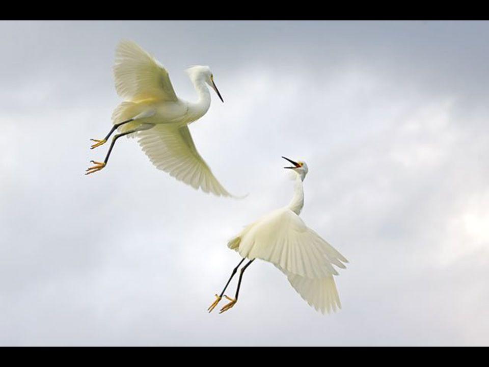 Birds Winner Snowy Egrets Egretta thula Sanibel Island, Florida, USA Fabiola del Alcazar, Coral Gables, Florida, USA