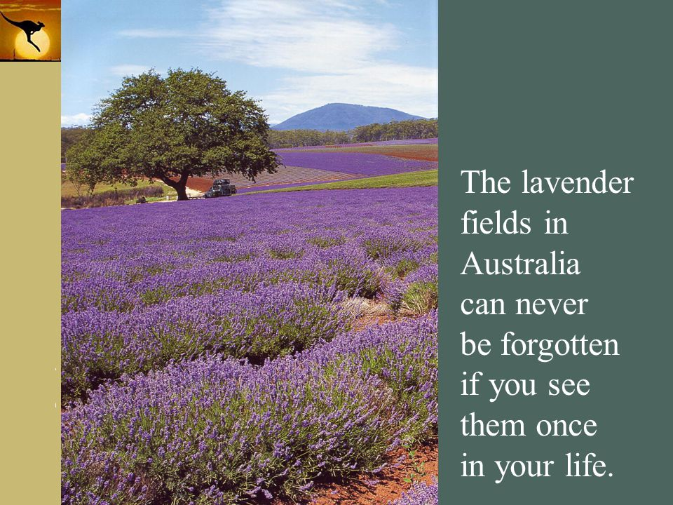www.themegallery.com Company Logo The lavender fields in Australia can never be forgotten if you see them once in your life.