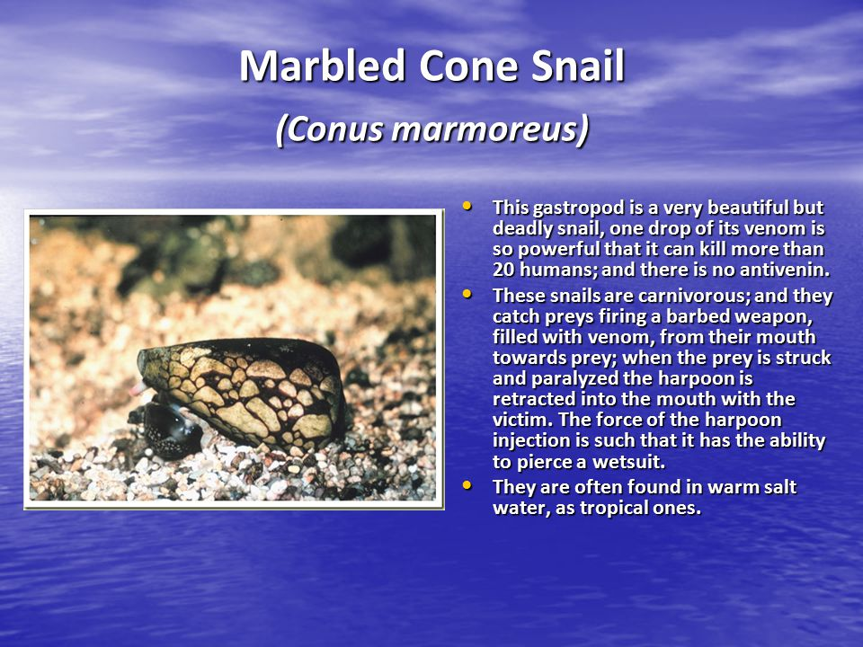 Marbled Cone Snail (Conus marmoreus) This gastropod is a very beautiful but deadly snail, one drop of its venom is so powerful that it can kill more t