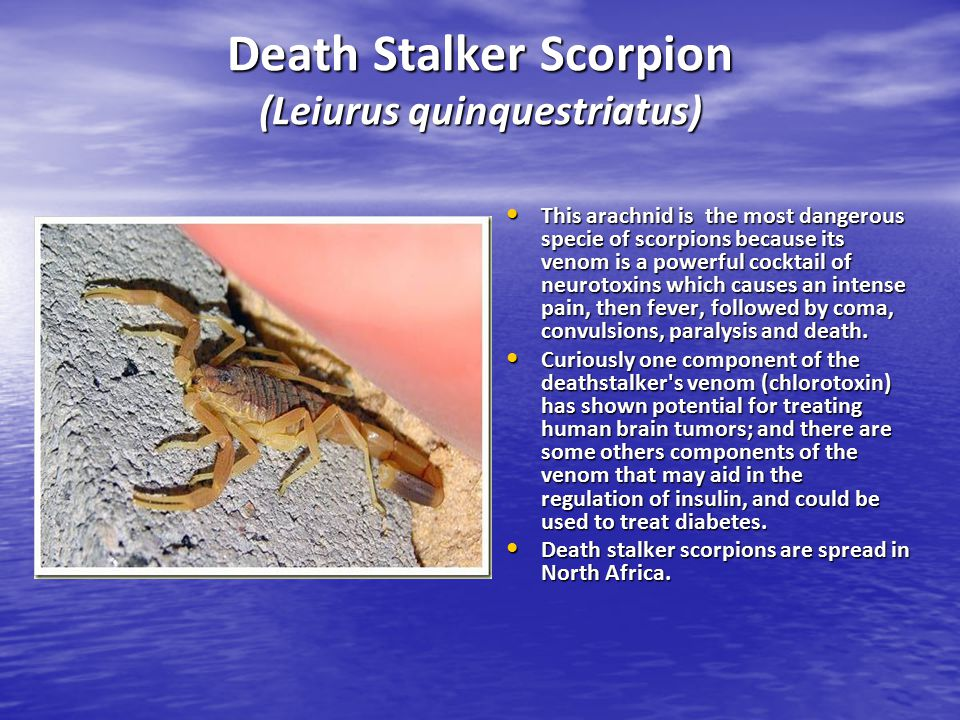 Death Stalker Scorpion (Leiurus quinquestriatus) This arachnid is the most dangerous specie of scorpions because its venom is a powerful cocktail of n