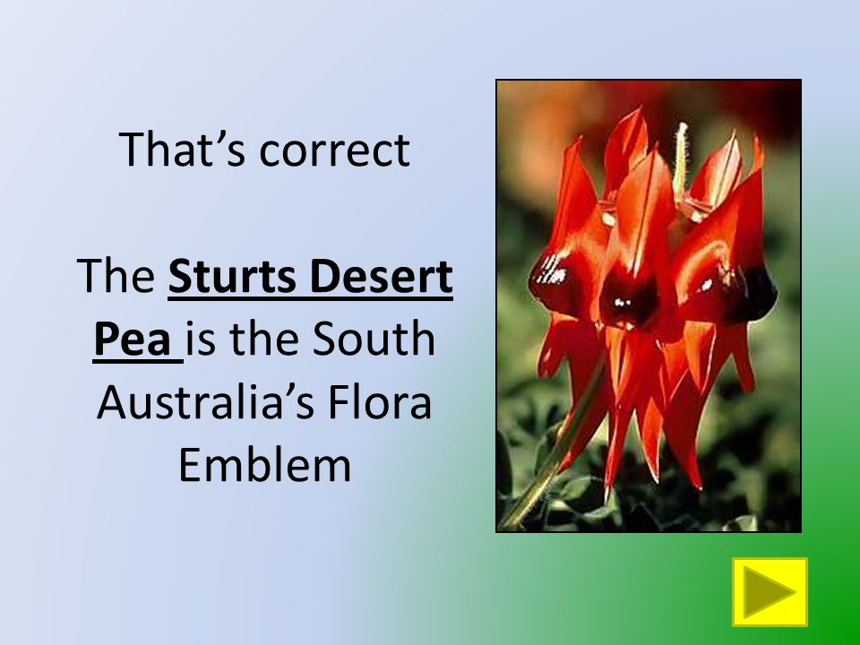 That is not South Australia's Flora Emblem Click on the button to go back and try again