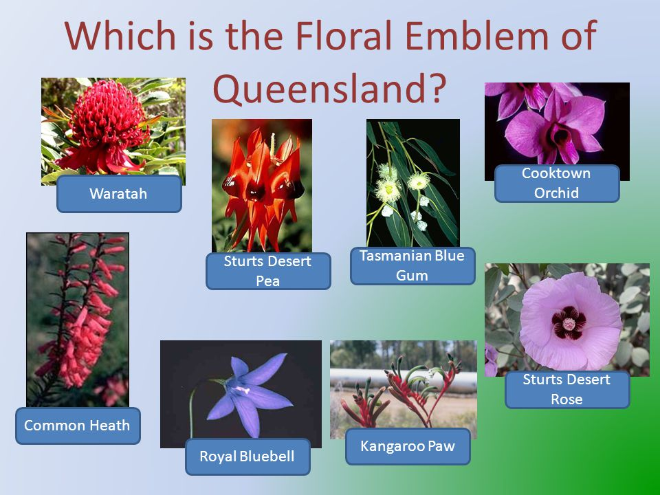 That's correct The Koala is Queensland's Fauna Emblem To hear the call of a koala click on the speaker