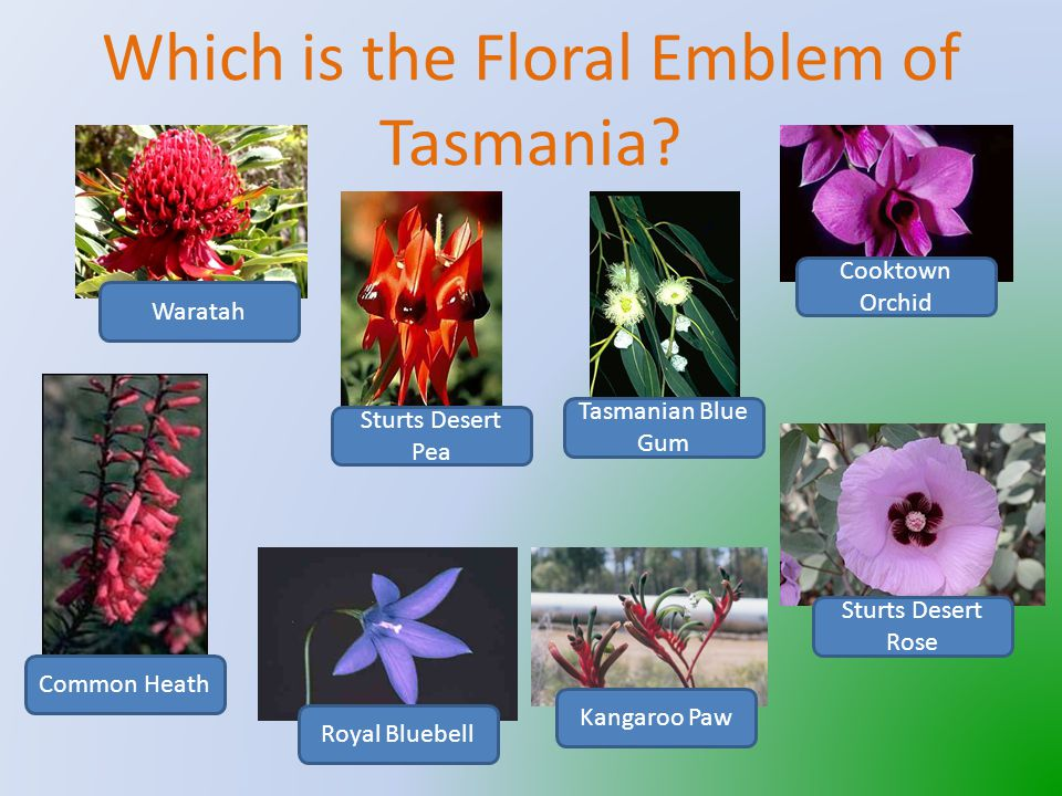 That's correct The Tasmanian Devil is Tasmania's Fauna Emblem To hear the Tasmanian Devil click on the speaker