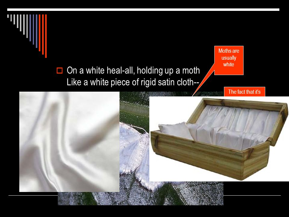  On a white heal-all, holding up a moth Like a white piece of rigid satin cloth-- The heal-all is usually blue and is thought to be able to heal a number of maladies The fact that it's white is out of the ordinary Moths are usually white