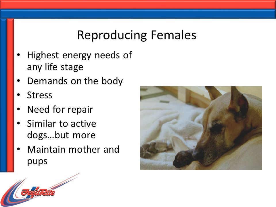 Reproducing Females Highest energy needs of any life stage Demands on the body Stress Need for repair Similar to active dogs…but more Maintain mother and pups