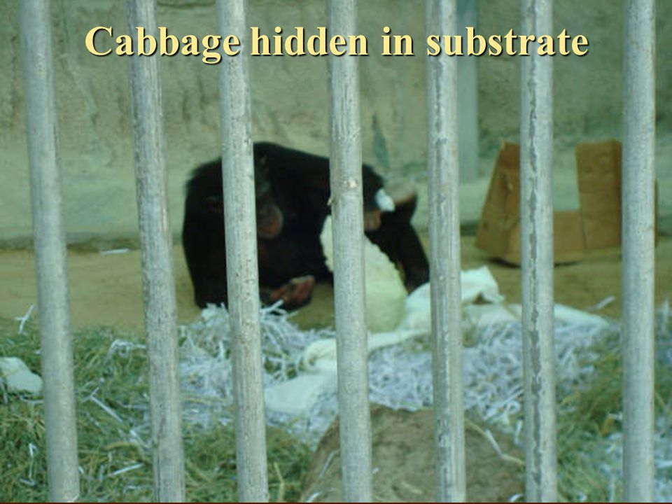 Cabbage hidden in substrate