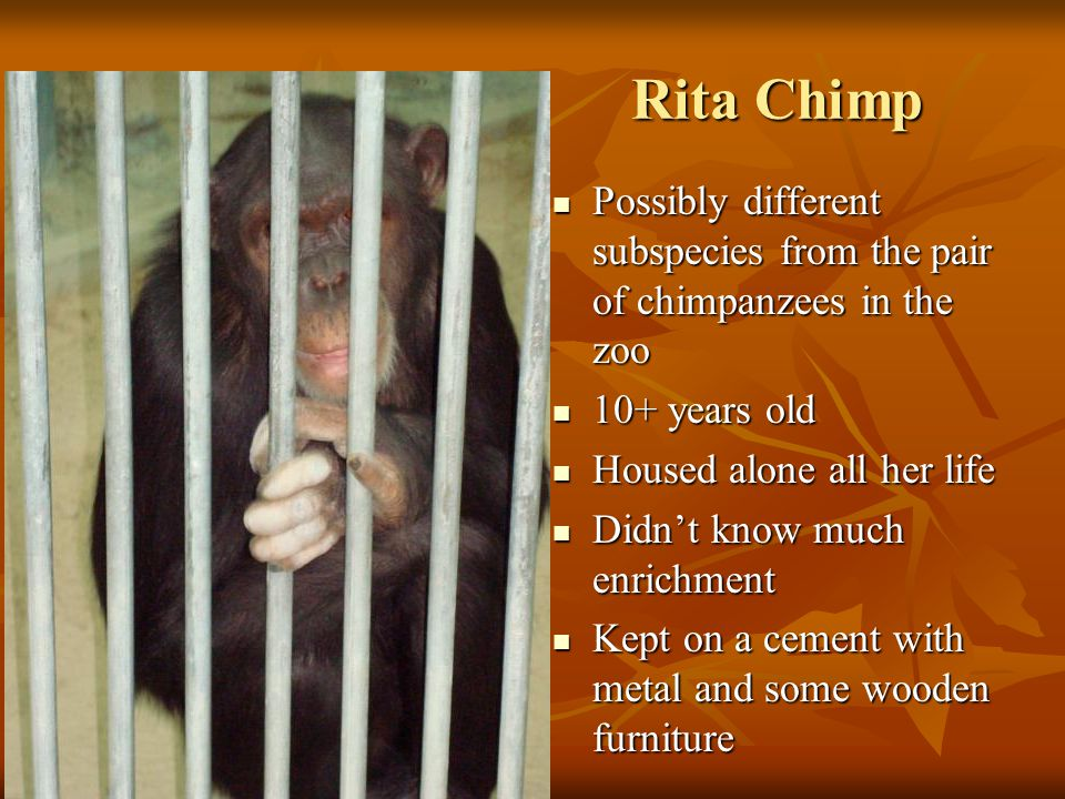 Rita Chimp Rita Chimp Possibly different subspecies from the pair of chimpanzees in the zoo Possibly different subspecies from the pair of chimpanzees in the zoo 10+ years old 10+ years old Housed alone all her life Housed alone all her life Didn't know much enrichment Didn't know much enrichment Kept on a cement with metal and some wooden furniture Kept on a cement with metal and some wooden furniture
