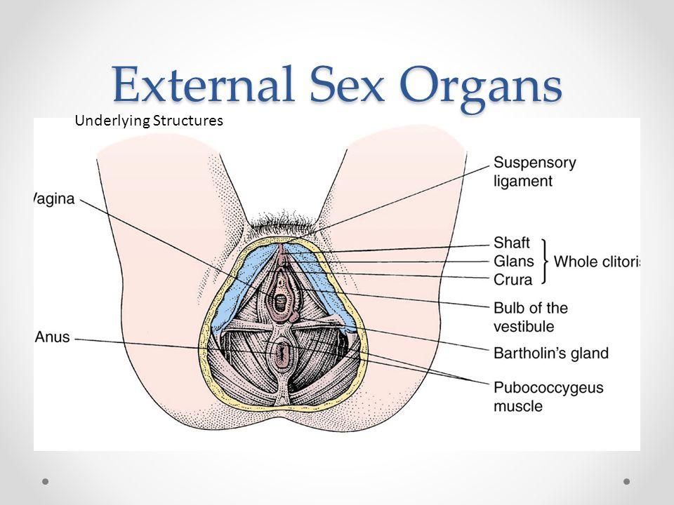 External Sex Organs Underlying Structures