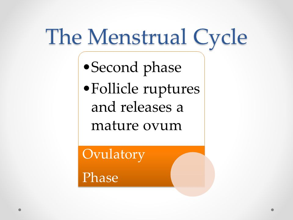 The Menstrual Cycle Second phase Follicle ruptures and releases a mature ovum Ovulatory Phase