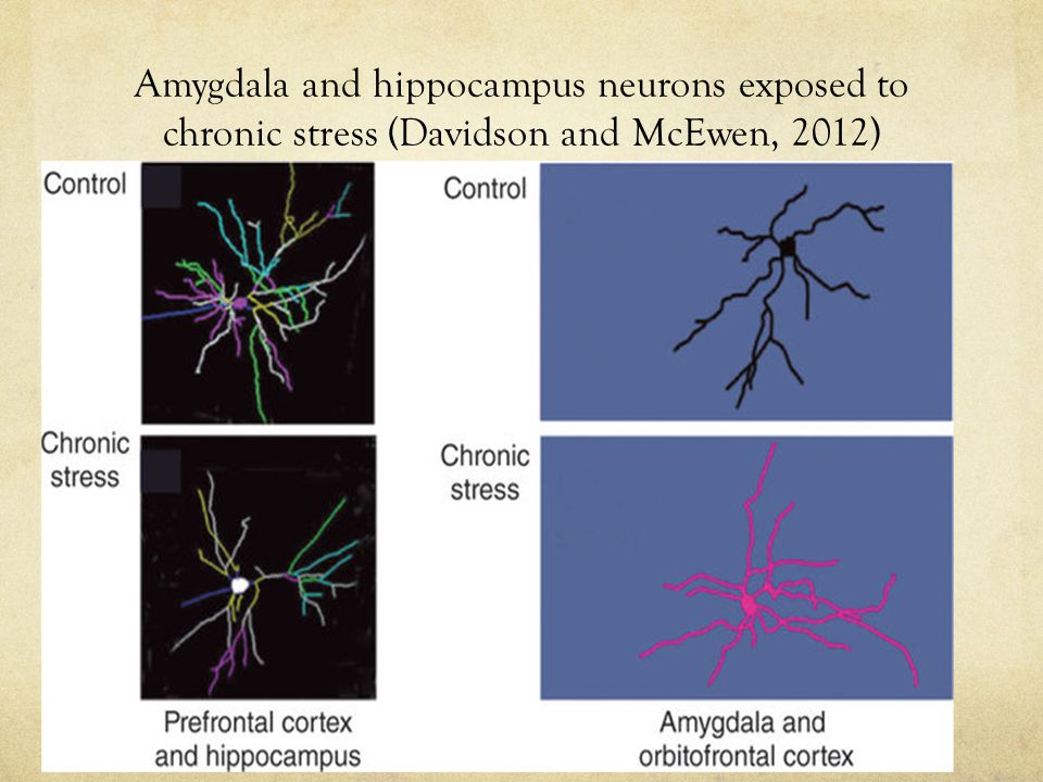 Amygdala and hippocampus neurons exposed to chronic stress (Davidson and McEwen, 2012)