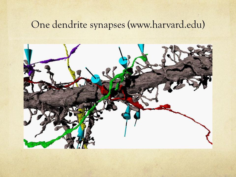 One dendrite synapses (www.harvard.edu)