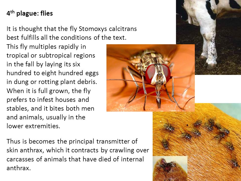 4 th plague: flies It is thought that the fly Stomoxys calcitrans best fulfills all the conditions of the text.