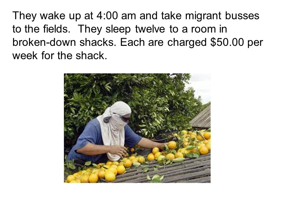 They wake up at 4:00 am and take migrant busses to the fields. They sleep twelve to a room in broken-down shacks. Each are charged $50.00 per week for