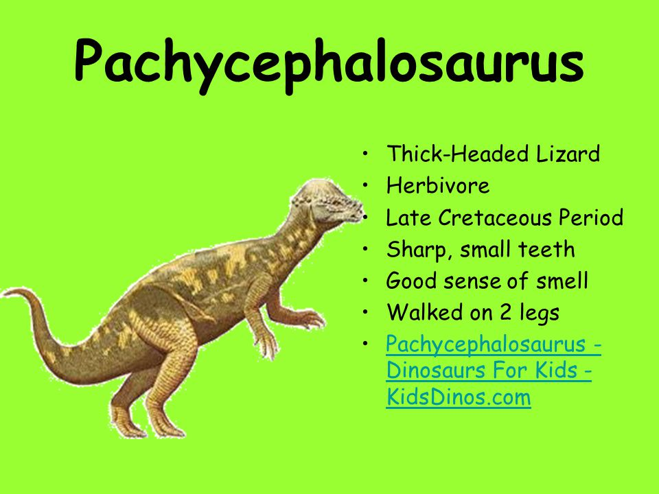 Pachycephalosaurus Thick-Headed Lizard Herbivore Late Cretaceous Period Sharp, small teeth Good sense of smell Walked on 2 legs Pachycephalosaurus - D