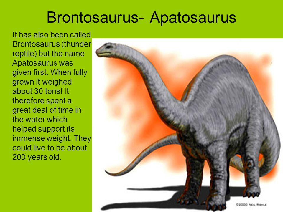 Brontosaurus- Apatosaurus It has also been called Brontosaurus (thunder reptile) but the name Apatosaurus was given first. When fully grown it weighed
