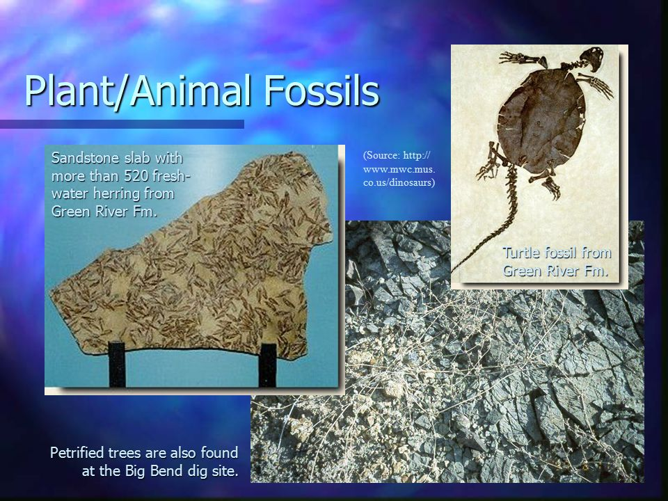 Plant/Animal Fossils Sandstone slab with more than 520 fresh- water herring from Green River Fm.