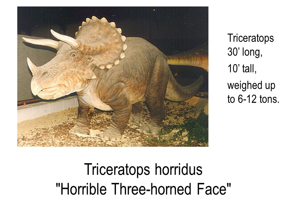 Triceratops horridus Horrible Three-horned Face Triceratops 30' long, 10' tall, weighed up to 6-12 tons.