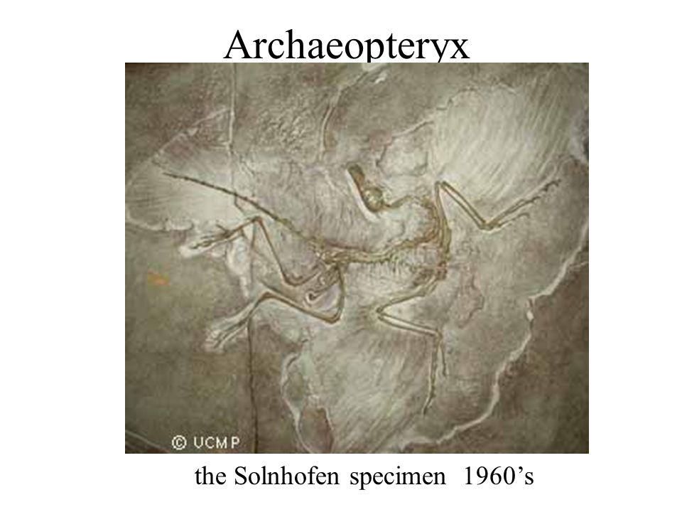 Archaeopteryx the Solnhofen specimen 1960's
