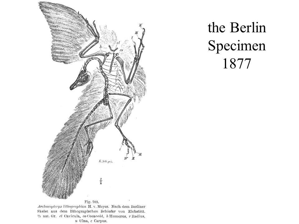 the Berlin Specimen 1877