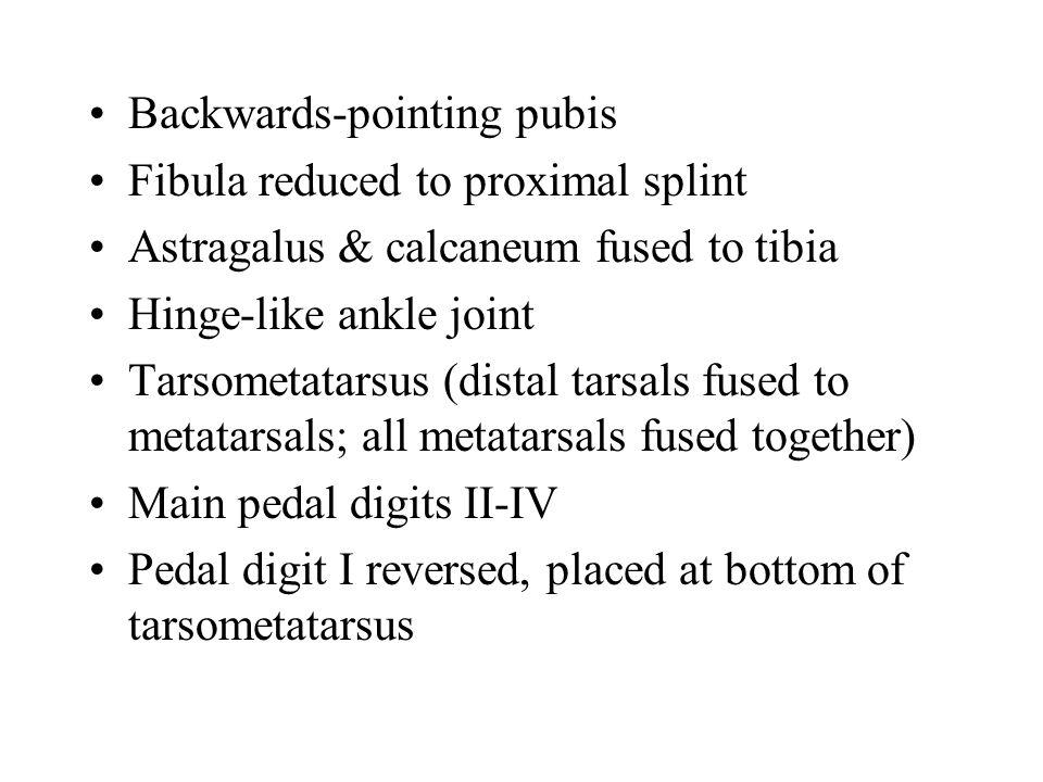 Backwards-pointing pubis Fibula reduced to proximal splint Astragalus & calcaneum fused to tibia Hinge-like ankle joint Tarsometatarsus (distal tarsal
