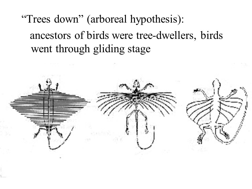 """""""Trees down"""" (arboreal hypothesis): ancestors of birds were tree-dwellers, birds went through gliding stage"""
