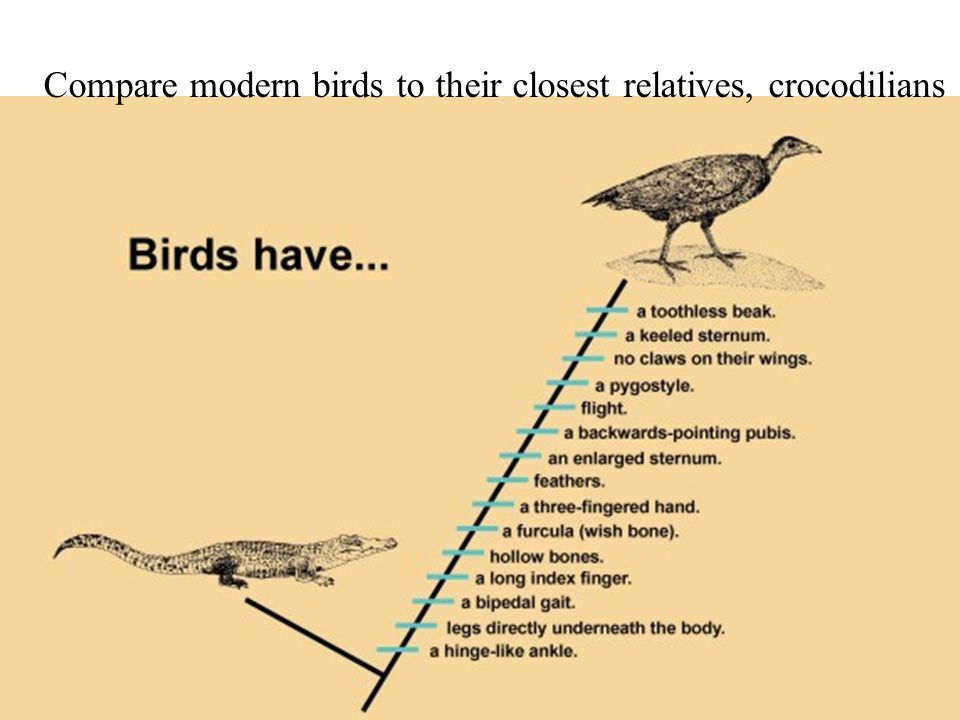 Compare modern birds to their closest relatives, crocodilians