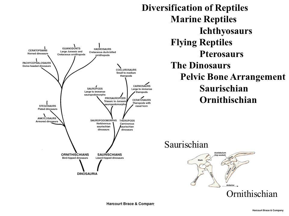 Diversification of Reptiles Marine Reptiles Ichthyosaurs Flying Reptiles Pterosaurs The Dinosaurs Pelvic Bone Arrangement Saurischian Ornithischian Saurischian Ornithischian