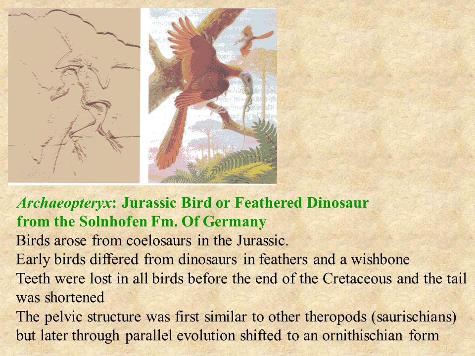 Archaeopteryx: Jurassic Bird or Feathered Dinosaur from the Solnhofen Fm. Of Germany Birds arose from coelosaurs in the Jurassic. Early birds differed