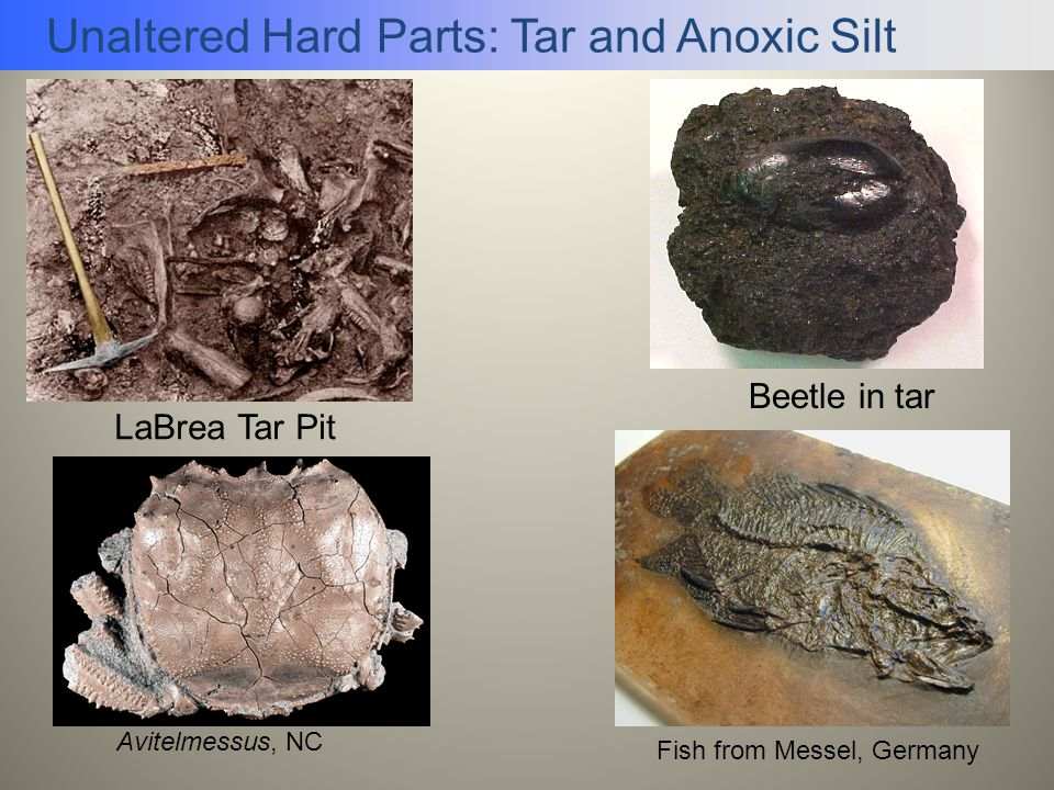 Unaltered Hard Parts: Tar and Anoxic Silt Beetle in tar LaBrea Tar Pit Fish from Messel, Germany Avitelmessus, NC