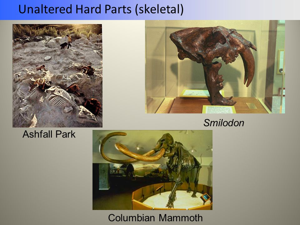 Unaltered Hard Parts (skeletal) Smilodon Columbian Mammoth Ashfall Park