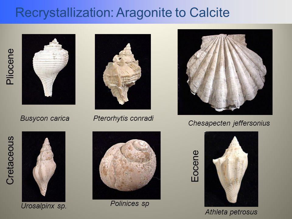 Recrystallization: Aragonite to Calcite Pterorhytis conradiBusycon carica Chesapecten jeffersonius Pliocene Cretaceous Eocene Athleta petrosus Polinic