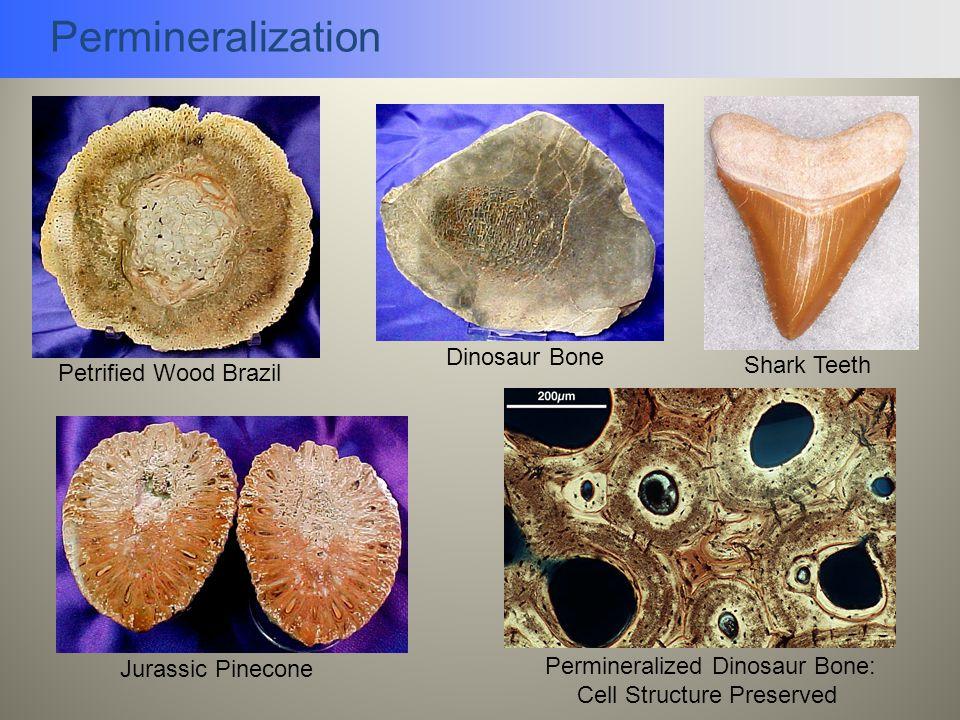 Permineralization Jurassic Pinecone Permineralized Dinosaur Bone: Cell Structure Preserved Petrified Wood Brazil Dinosaur Bone Shark Teeth