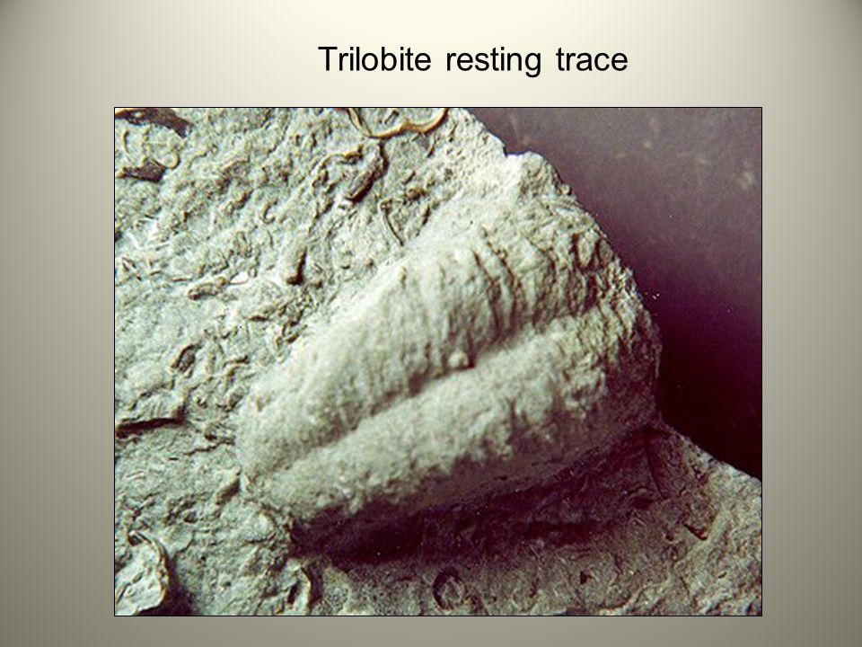 Trilobite resting trace