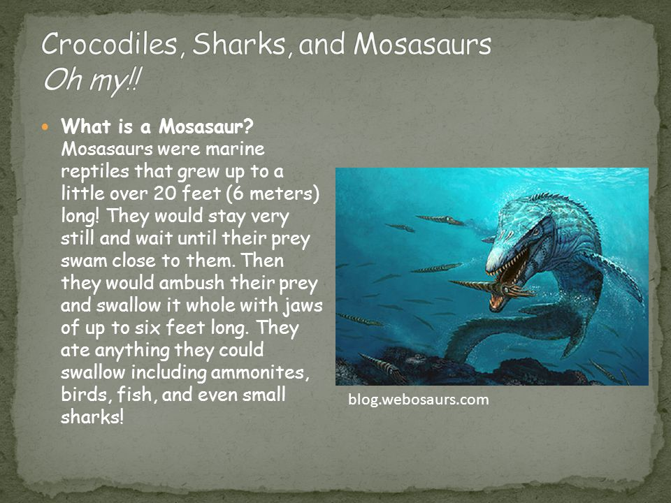 What is a Mosasaur? Mosasaurs were marine reptiles that grew up to a little over 20 feet (6 meters) long! They would stay very still and wait until th